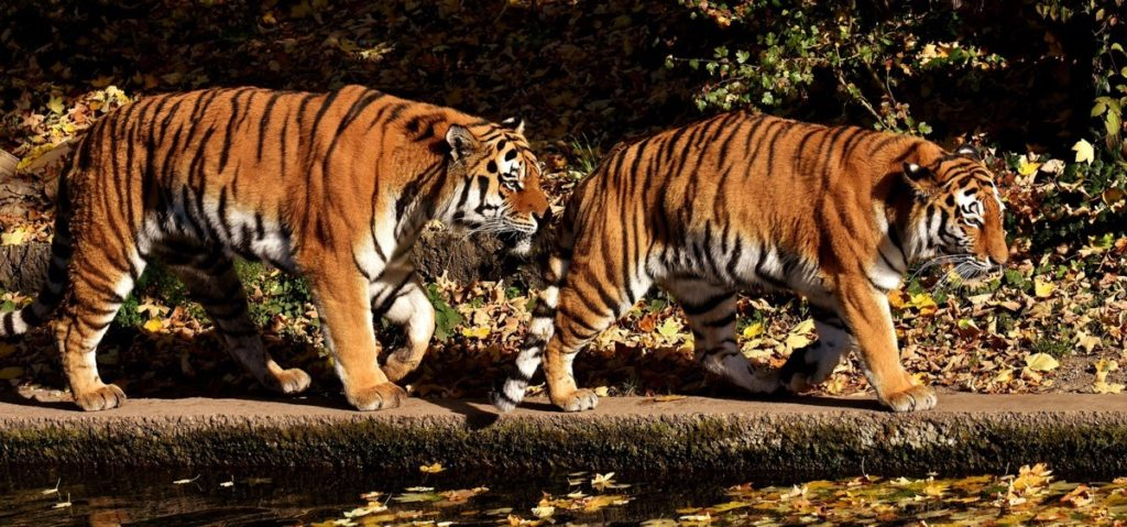 Tiger im Zoo Hellabrunn